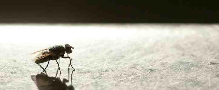 Pourquoi beaucoup de mouches dans la maison ?