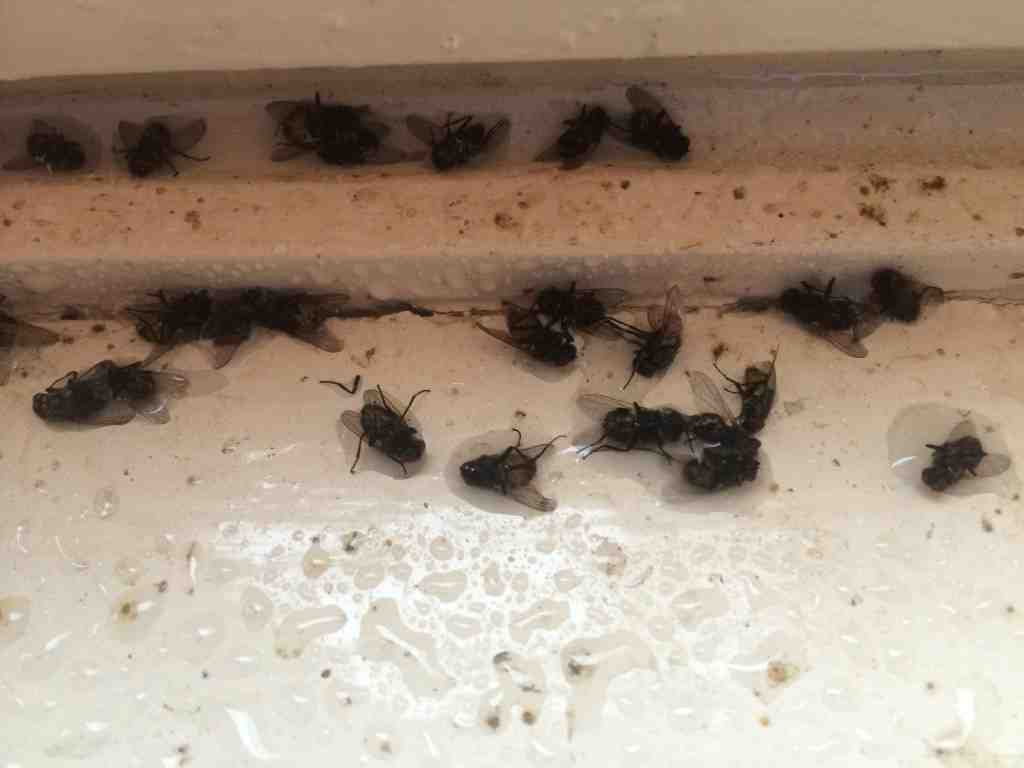 Pourquoi j'ai des petites mouches chez moi ?
