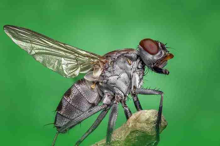 Quelle odeur attire les mouches ?