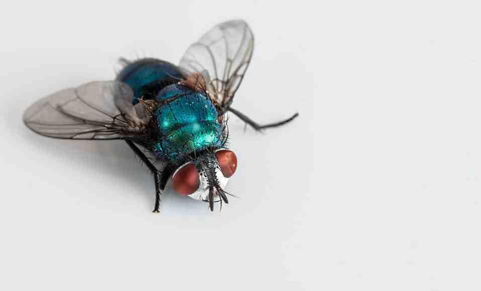 Quelle odeur fait fuir les mouches ?