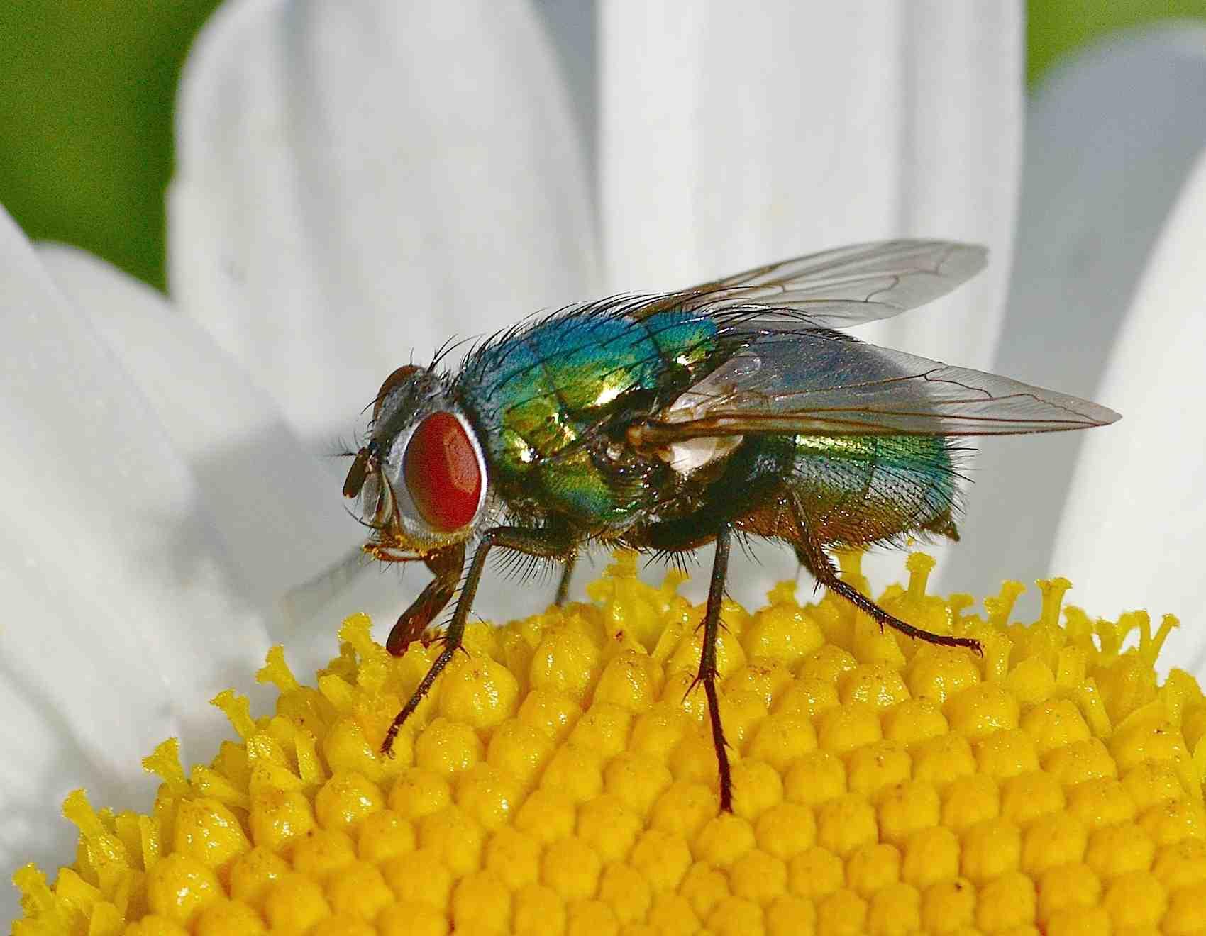 Qu'est-ce qui peut attirer les mouches dans une maison ?