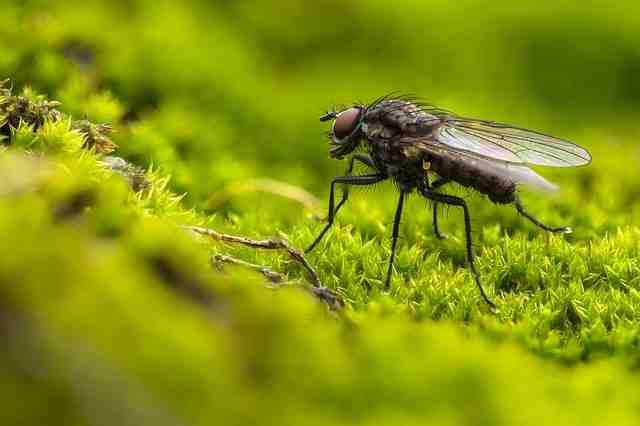 Qui attire les mouches dans une maison ?