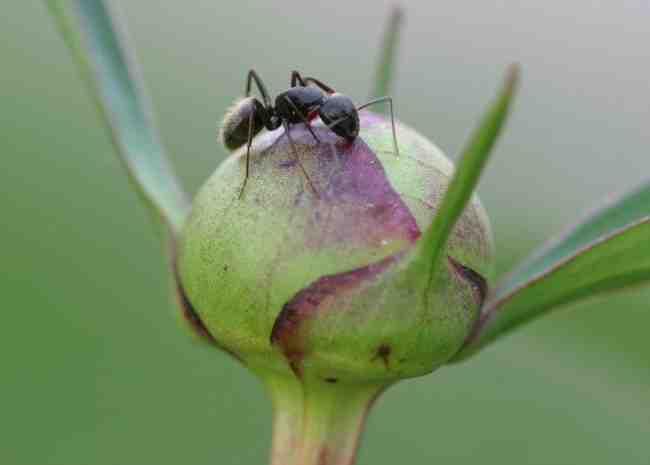 Comment éliminer les fourmis naturellement ?