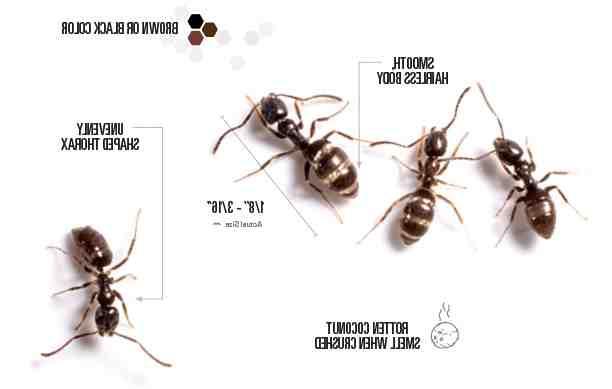 Comment éliminer les fourmis noires dans la maison ?