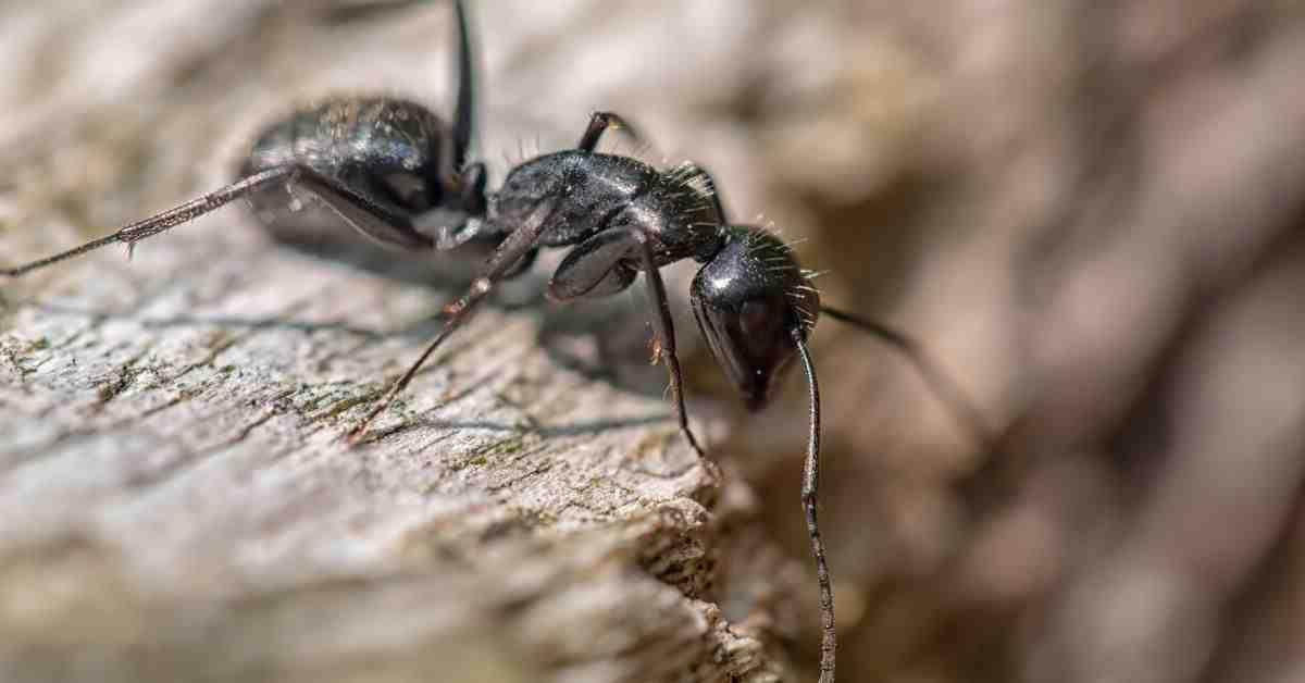 Comment éloigner les fourmis noires ?