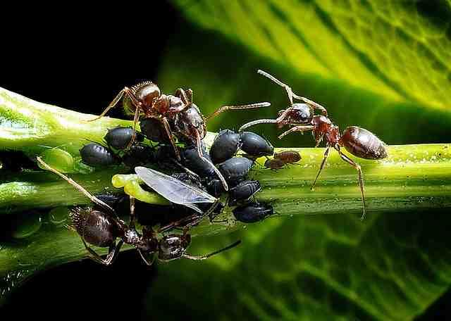 Comment fabriquer du produit anti fourmis ?