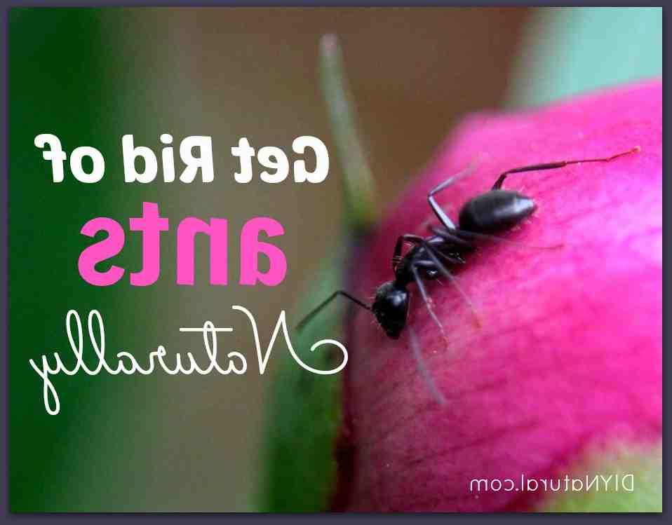 Comment se débarrasser définitivement des fourmis ?