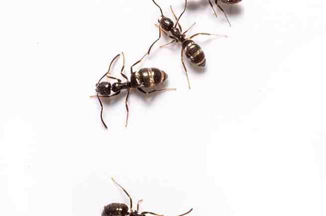 Comment se débarrasser des fourmis à l'intérieur de la maison ?