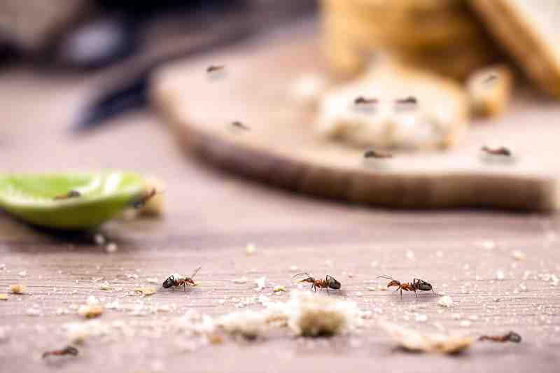 Comment se débarrasser des fourmis avec du vinaigre blanc ?