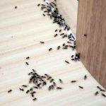 Comment se débarrasser des fourmis remède Grand-mère ?