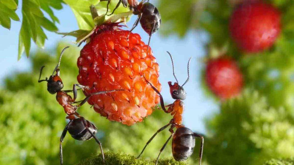 Comment se débarrasser des fourmis sur les arbres fruitiers ?
