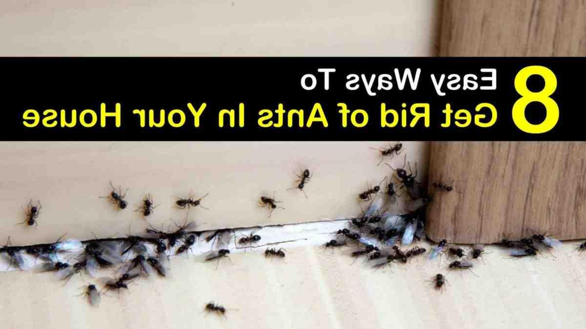 Comment tuer un nid de fourmis noires ?