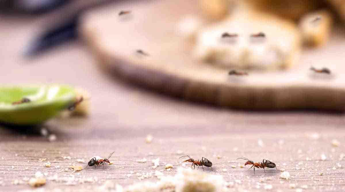 Est-ce que le bicarbonate de soude tue les fourmis ?