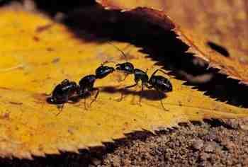 Est-ce que le vinaigre blanc tue les fourmis ?