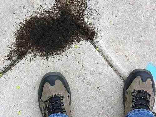 Est-ce que l'eau de javel tue les fourmis ?