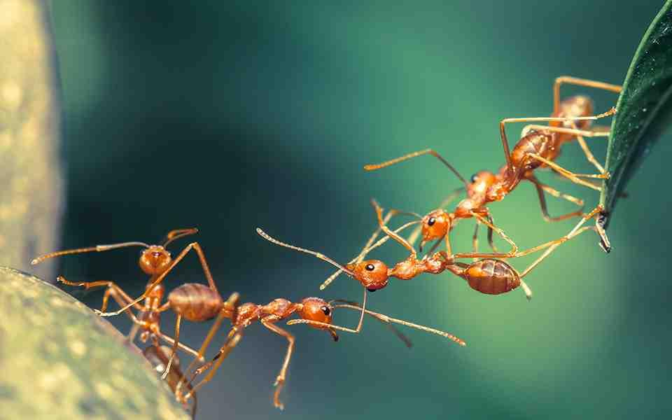 Pourquoi invasion de fourmis volantes ?