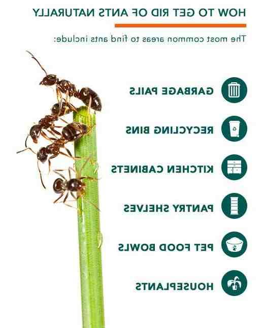 Qu'est-ce qui attire les fourmis dans la maison ?