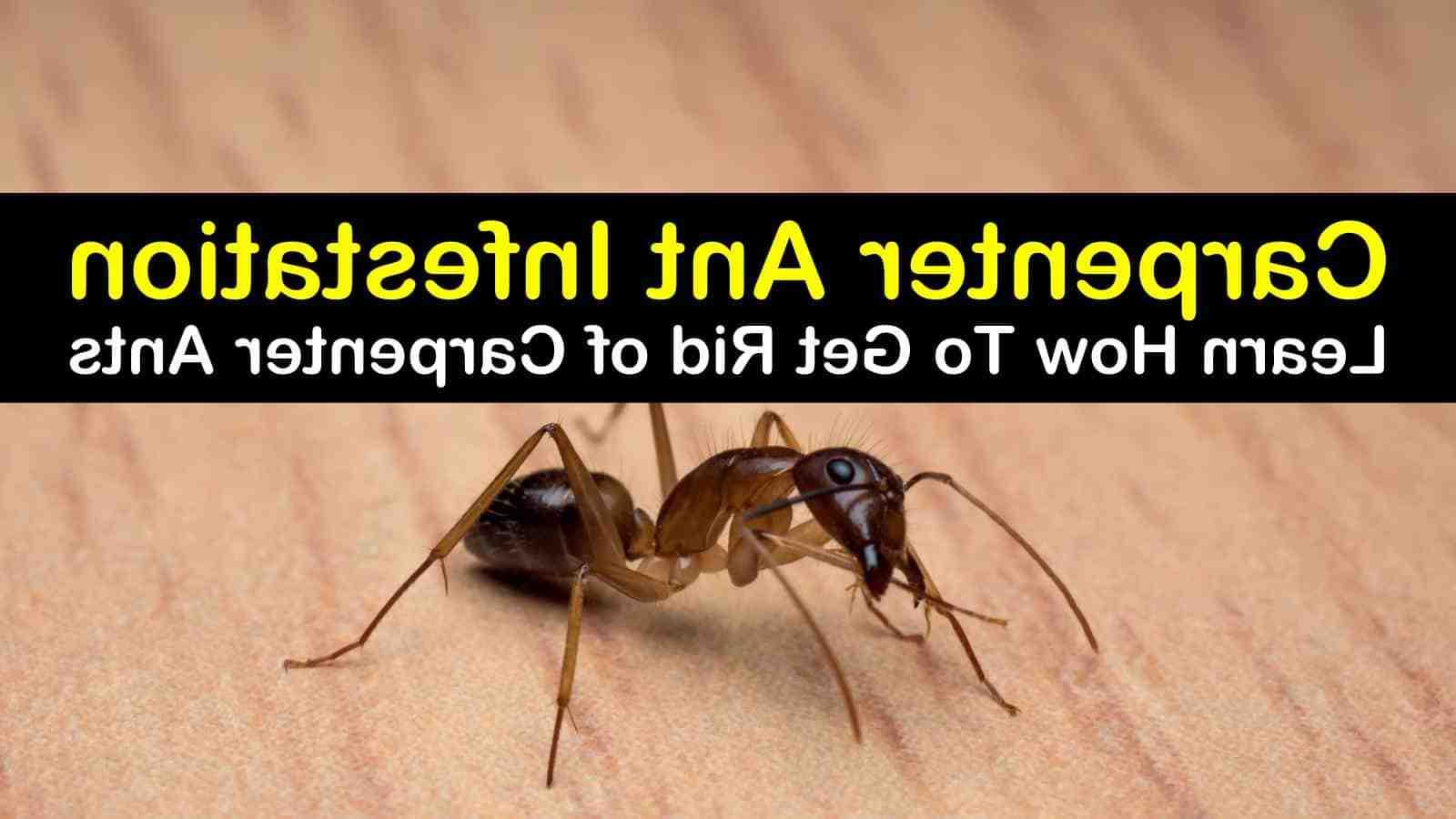 Qu'est-ce qui attire les fourmis noires ?